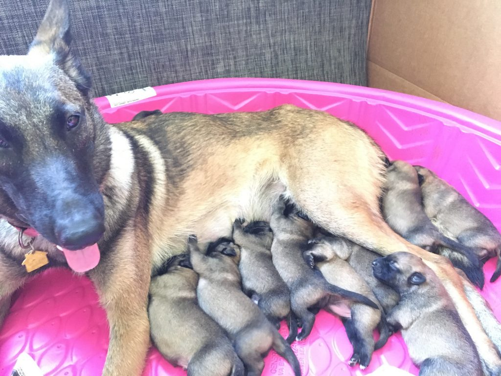 malinois breeding puppies