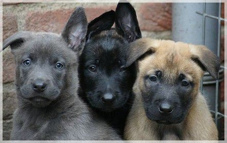 belgian-malinois-puppies