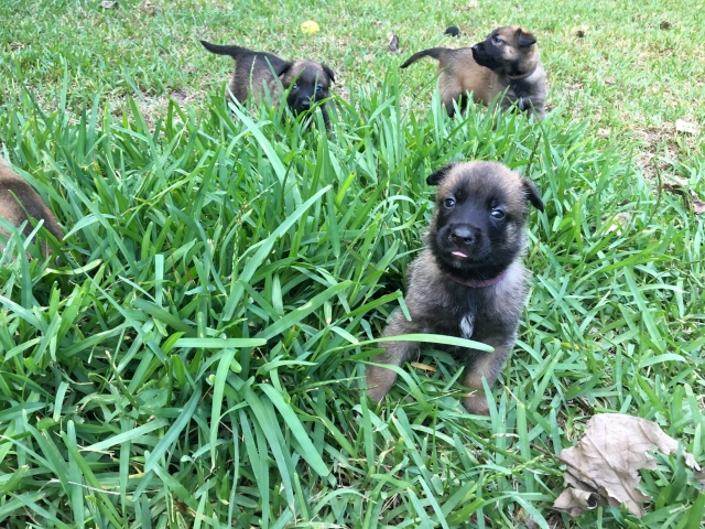 puppy malinois for sale