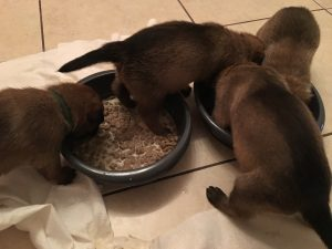 malinois puppies eating