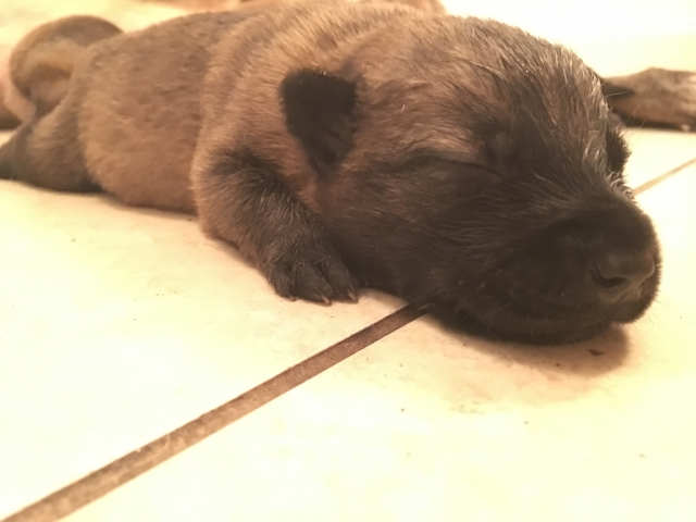 malinois puppy for sale