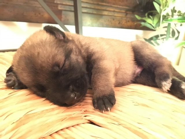 puppies malinois for sale