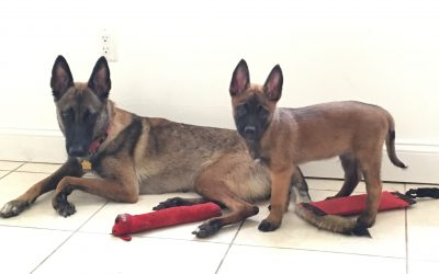 separation-anxiety-malinois
